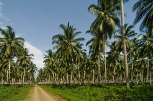 Coconut-Plantation