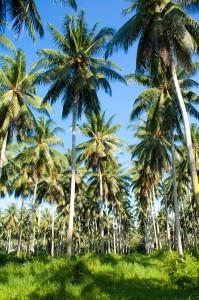 coco-plantation